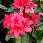 Evergreen Azalea Azalea 'Hino Crimson' Red