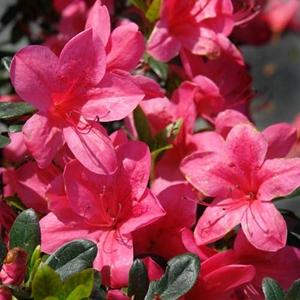 Azalea Glamour Evergreen Azalea Red