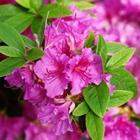 Evergreen Azalea Azalea 'Purple Splendor' Purple-violet