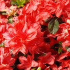 Evergreen Azalea Azalea 'Stewardstonian' Red