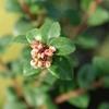 Evergreen Huckleberry Vaccinium ovatum