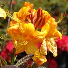 Exbury Deciduous Azalea Azalea 'Klondyke' Yellow
