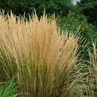 Feather Reed Grass Calamagrostis acutiflora 'Karl Foerster'