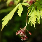 Fernleaf Full Moon Maple Acer japonicum 'Aconitifolium'