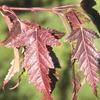 Flame Maple Acer ginnala