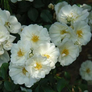 Rosa noaschnee flower carpet white creeping white flower carpet rosa noaschnee flower carpet white creeping white flower carpet white ground cover rose white mightylinksfo Image collections