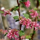 Flowering Currant Ribes sanguineum 'King Edward VII' Red