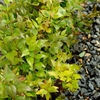 Frances Mason Abelia Abelia grandiflora