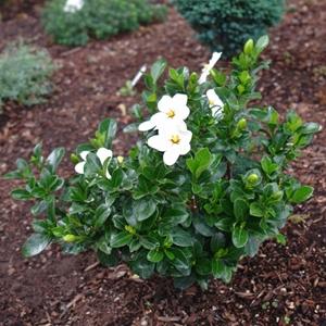 Gardenia Jasminoides Kleim S Hardy Gardenia White