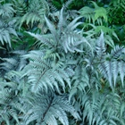 Ghost Fern Athyrium 'Ghost'