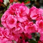 Girard Evergreen Azalea Azalea 'Girard's Fuchsia' Pink