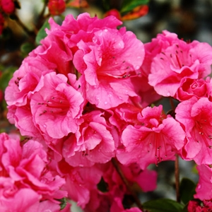 Azalea Girard S Fuchsia Girard Evergreen Azalea Pink