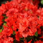 Girard Evergreen Azalea Azalea 'Girard's Hot Shot' Red