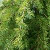 Golden Deodar Cedar Cedrus deodara
