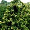 Golden Dwarf Hinoki Cypress Chamaecyparis obtusa
