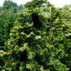 Golden Dwarf Hinoki Cypress Chamaecyparis obtusa 'Aurea Nana'