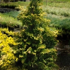 Golden Hinoki Cypress Chamaecyparis obtusa 'Aurea'