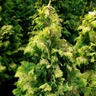 Golden Hinoki Cypress Chamaecyparis obtusa 'Crippsii'