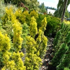 Golden Irish Yew Taxus baccata 'Standishii'