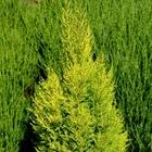 Golden Monterey Cypress  Cupressus macrocarpa 'Wilma Goldcrest'