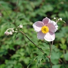 Grape Leaf Anemone Anemone tomentosa 'Robustissima' Pink
