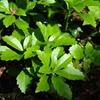 Green Sheen Pachysandra Pachysandra terminalis