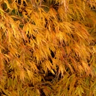 Green Weeping Japanese Maple Acer palmatum dissectum 'Viridis'
