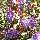 Hebe Hebe 'Caledonia' Lavender/Blue