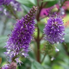 Hebe Hebe 'Patty's Purple' Purple-violet