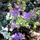 Hebe Hebe pimeleoides 'Quicksilver' Lavender/Blue