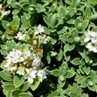 Hebe Hebe pinguifolia 'Sutherlandii' White
