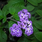 Heliotrope - Fragrant Delight Heliotropium arborescens 'Fragrant Delight Purple-violet