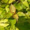 Himalayan Honeysuckle Leycesteria formosa