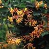 Honeysuckle Lonicera