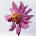 Japanese Anemone, Windflower Anemone 'Pamina' Pink