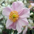 Japanese Anemone, Windflower Anemone hybrida 'Lady Gilmore' Pink