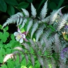 Japanese Painted Fern Athyrium nipponicum pictum 
