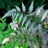 Japanese Painted Fern Athyrium nipponicum pictum
