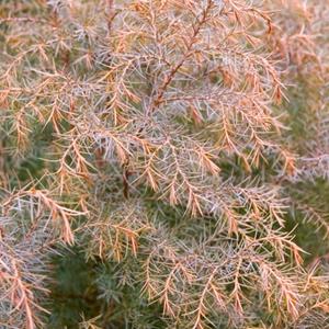 Cryptomeria Japonica Elegans Japanese Plume Cedar
