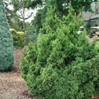Japaneses Cedar Cryptomeria japonica 'Black Dragon'