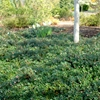 Kinnikinnick Arctostaphylos uva-ursi