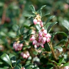Kinnikinnick Arctostaphylos uva-ursi 'Massachusetts' White