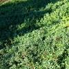 Kinnikinnick Arctostaphylos uva-ursi White