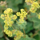 Lady's Mantle Alchemilla mollis 'Auslese' Yellow