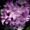 Lavender Rhododendron - Large leaf Rhododendron catawbiense