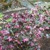 Lenten Rose Helleborus