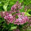 Lilac Syringa patula