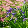 Lily of the Nile Agapanthus