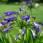 Lily of the Nile Agapanthus 'Storm Cloud' Blue