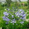 Lily of the Nile Agapanthus africanus
